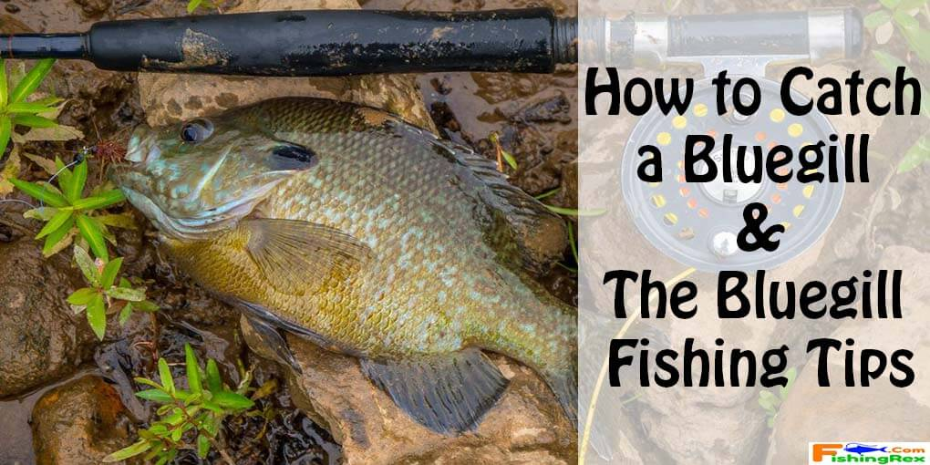 tips for catching bluegill related keywords tips for
